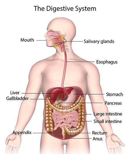 The _Digestive _System _450x 531